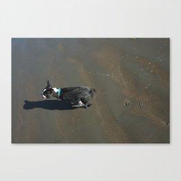 Banyan - Boston Terrier Canvas Print