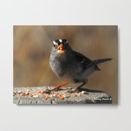 Male White Crowned Sparrow Metal Print