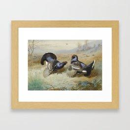 Blackcocks at the Lek by Archibald Thorburn, 1901. Framed Art Print
