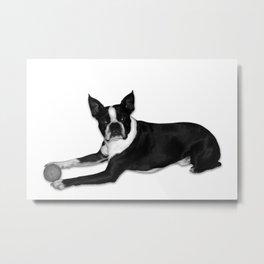 Fetch Boston Terrier B/W Metal Print