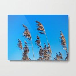 Reeds in golden light Metal Print