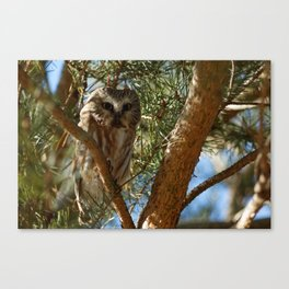 Perched Northern Saw-Whet Owl Canvas Print