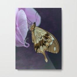 Papilio dardanus butterfly Metal Print