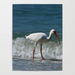 Florida White Ibis Poster