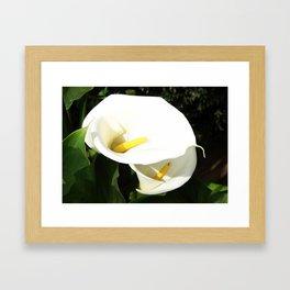 Beautiful White Calla Flowers In Bright Sunlight Framed Art Print