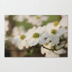 Dogwood Blossoms Canvas Print