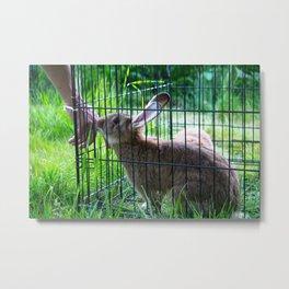 Alaskan Rabbit Metal Print