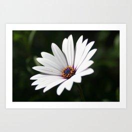 Daisy flower blooming close-up Art Print