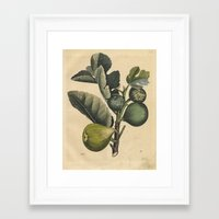 fig Framed Art Prints featuring Fig by Connie Goldman