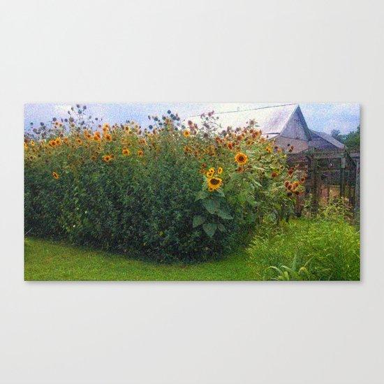 Sunflowers Overgrow the Barn Canvas Print