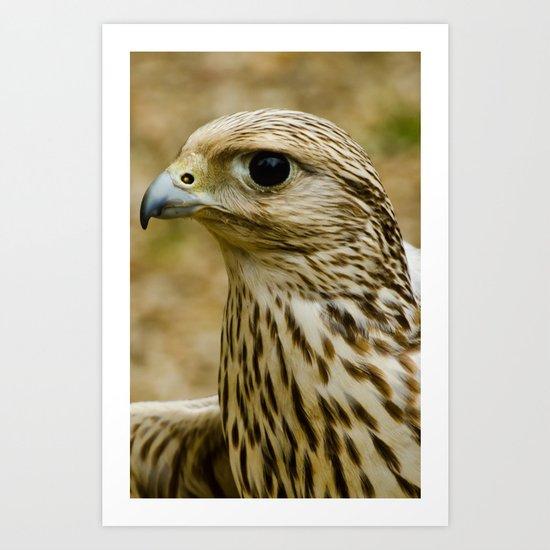 Female Common Kestrel Art Print