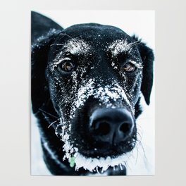 Snow Dog // Cross Country Skiing Black and White Animal Photography Winter Puppy Ice Fur Poster