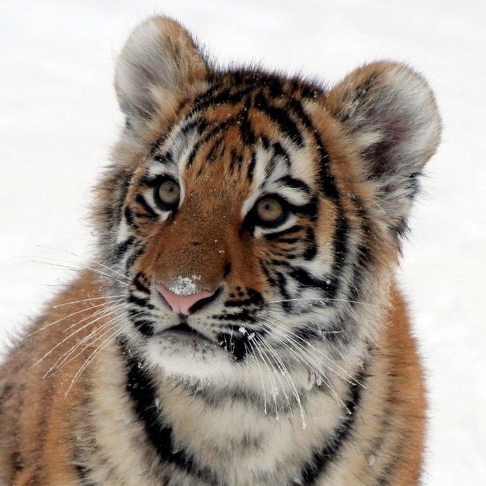 Tiger_2015_0114 Duvet Cover