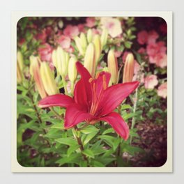 Asiatic Lilly Canvas Print