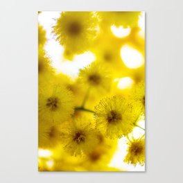 Acacia Flower III Canvas Print