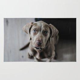 Weimaraner puppy looking sweet Rug