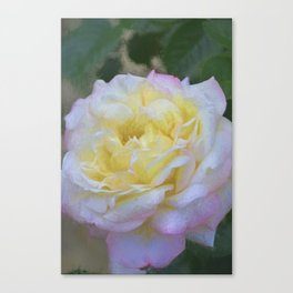 Rose 386 Canvas Print