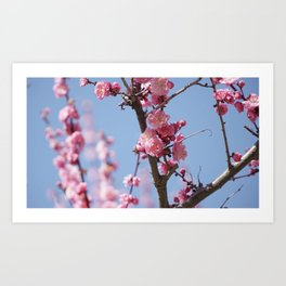Pink Cherry Blossom - Nara, Japan Art Print