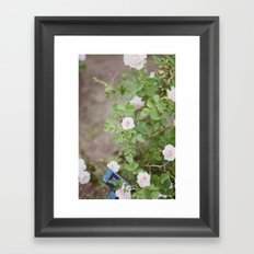 white roses Framed Art Print