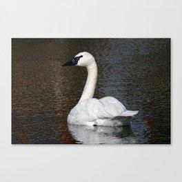Trumpeter Swan | Wildlife Photography | Birds | Nature | Wall Art Canvas Print