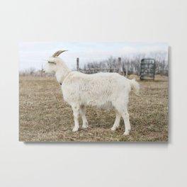 Tonka the Goat Metal Print
