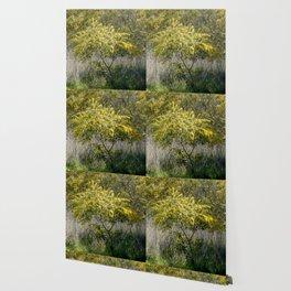 Flowering Acacia Tree Wallpaper