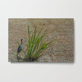 Little Blue Heron Fishing Metal Print