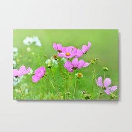 Summer meadow cosmea 033 Metal Print