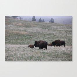 Buffalo Walking with calves Canvas Print
