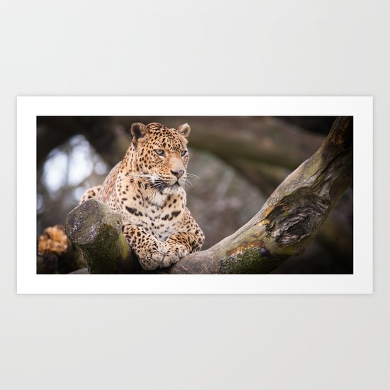 Sri Lankan Leopard Art Print