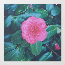 Camellia the Lonesome Canvas Print