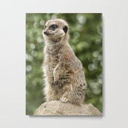 Slender Tailed Meerkat Metal Print