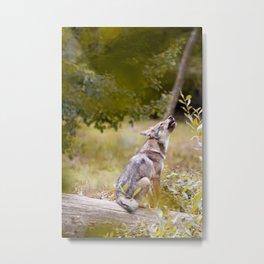 Jeune loup gris Metal Print