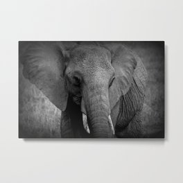 African Elephant Black and White Metal Print