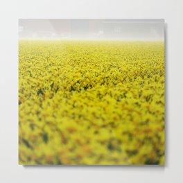 Narcissus field #4 Metal Print