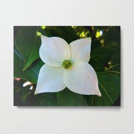 Kousa Dogwood Flower Metal Print