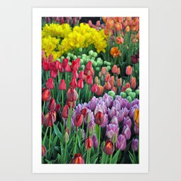 Colorful bunches of spring tulips Art Print