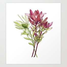Leucadendron Art Print