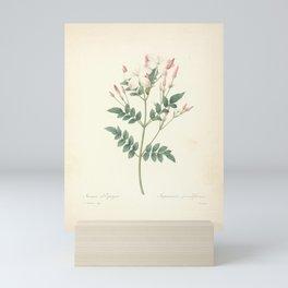 jasminum grandiflorum Redoute Roses 4 Mini Art Print