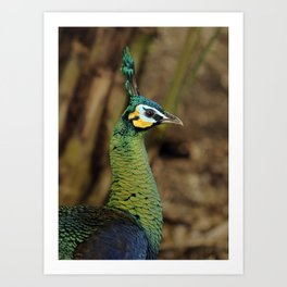 Green Peafowl Art Print