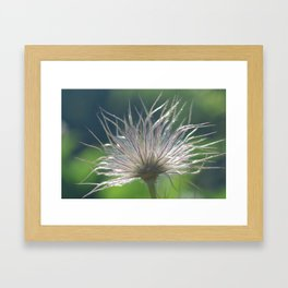 Pasque Flower Framed Art Print
