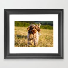 Brown Roan Italian Spinone Dog in Action Framed Art Print