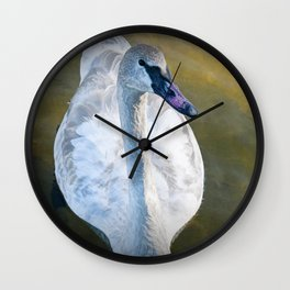 Trumpeter Swan floating on the water Wall Clock