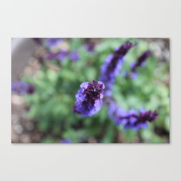 Purple Salvia Canvas Print