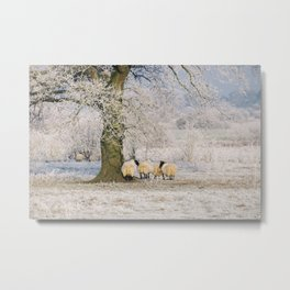 Sheep gathered under a tree covered in a thick hoar frost. Norfolk, UK. Metal Print