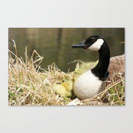 Canada Goose and One Gosling Watching Canvas Print