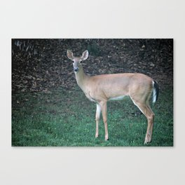 Beautiful fawn in the quest for food Canvas Print