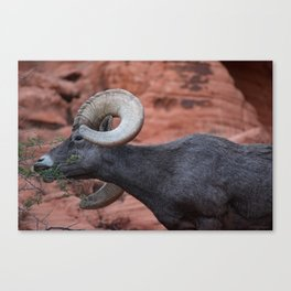 Breakfast - Valley of Fire Resident Canvas Print