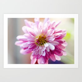 Padre Cerise Belgian Mum Alternate Focus Art Print