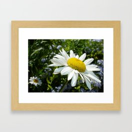 Close Up Common White Daisy With Garden Framed Art Print